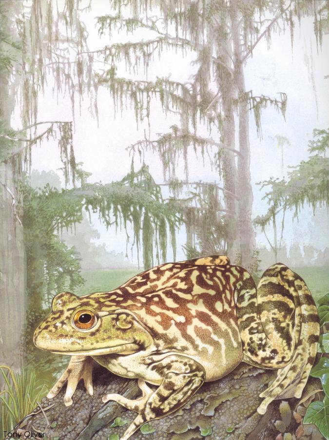 A detailed painting of a large American Bullfrog on a rock in a swamp