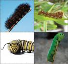 Caterpillar concentration cards