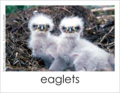Baby bird photo cards; two baby eaglets