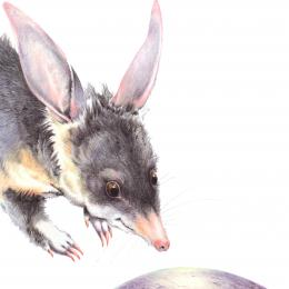 A little bandicoot looking at  smooth round gray object